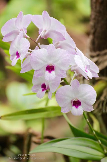 The Urban Gardener | Dendrobium Orchid