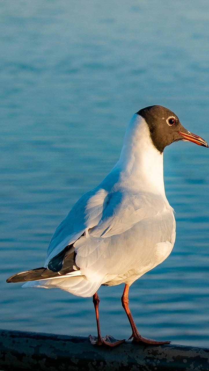 Picture of a black-headed gull.
