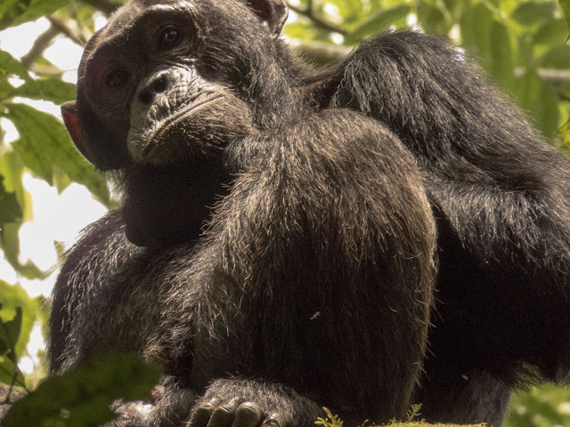 Portrait of a chimp in Kibale National Forest in Western Uganda