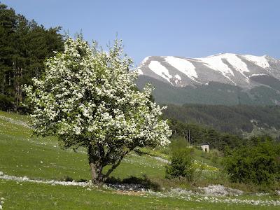 Biancospino selvatico