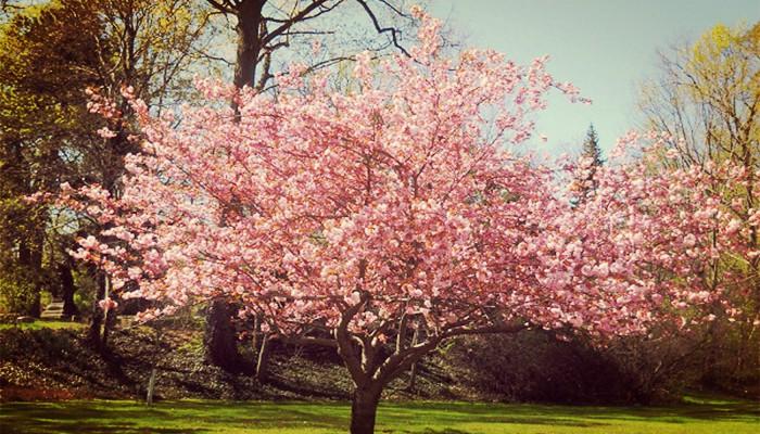 Magnolias de jardin