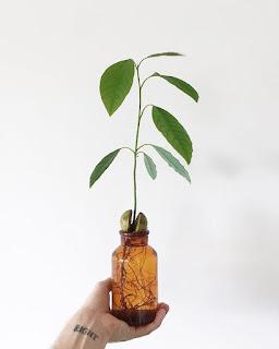 Brązowienie liści Awokado