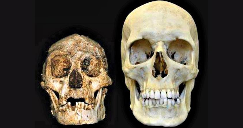 Cráneo de un «hobbit» y de un humano moderno (Homo floresiensis y Homo sapiens).