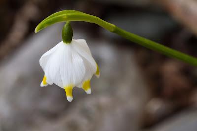 Yellow-tipped Spring Snowflakes, Leucojum vernum.