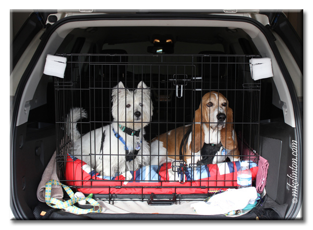 Westie and basset in secure kennel for car trip