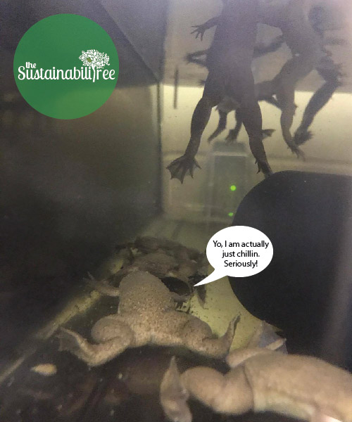 Some frogs surface for air while others relax on the bottom of a tank at the uOttawa Aquatic Care facility