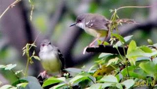 Burung Ciblek memiliki ukuran fisik yang tergolong kecil Rajajangkrik-info terkini 2020, Cara Mudah Beternak Ciblek