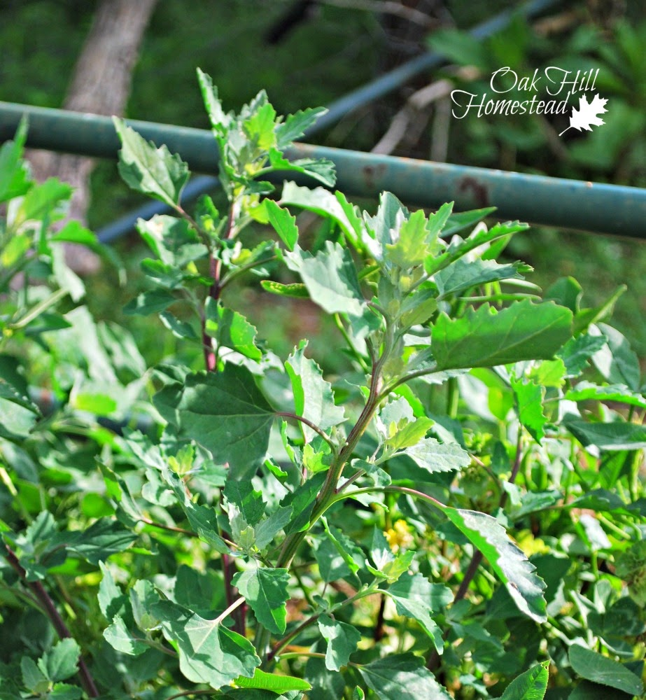 Lambsquarters are edible plants - so go eat your weeds!