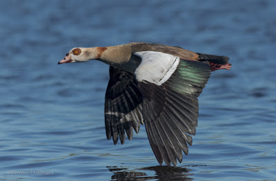 Low Flying Egyptian Goose over the Milnerton Lagoon