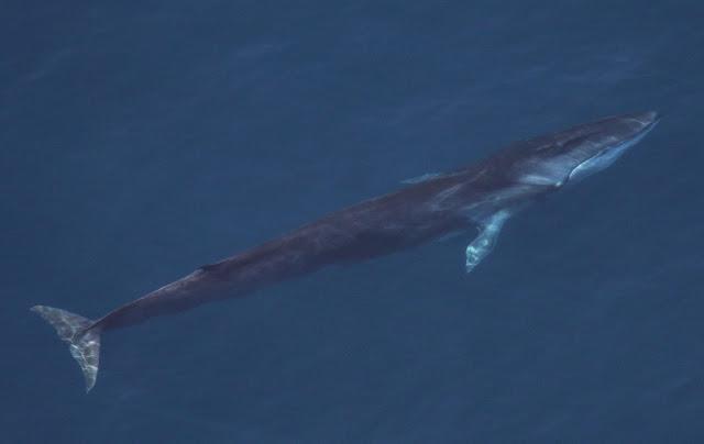 jenis ikan paus fin whale atau bersirip