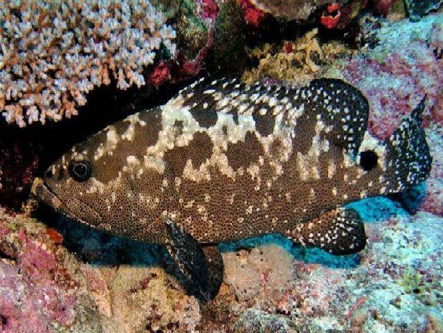 Ikan Kerapu Batik