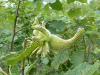 Noisetier à long bec - Coudrier à long bec - Corylus cornuta