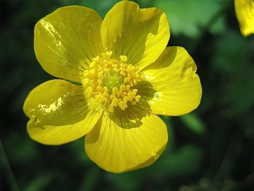 buttercup flower wallpaper