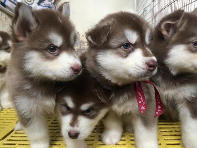 Giá chó alaska con