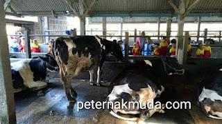 anak anak belajar ke kandang sapi