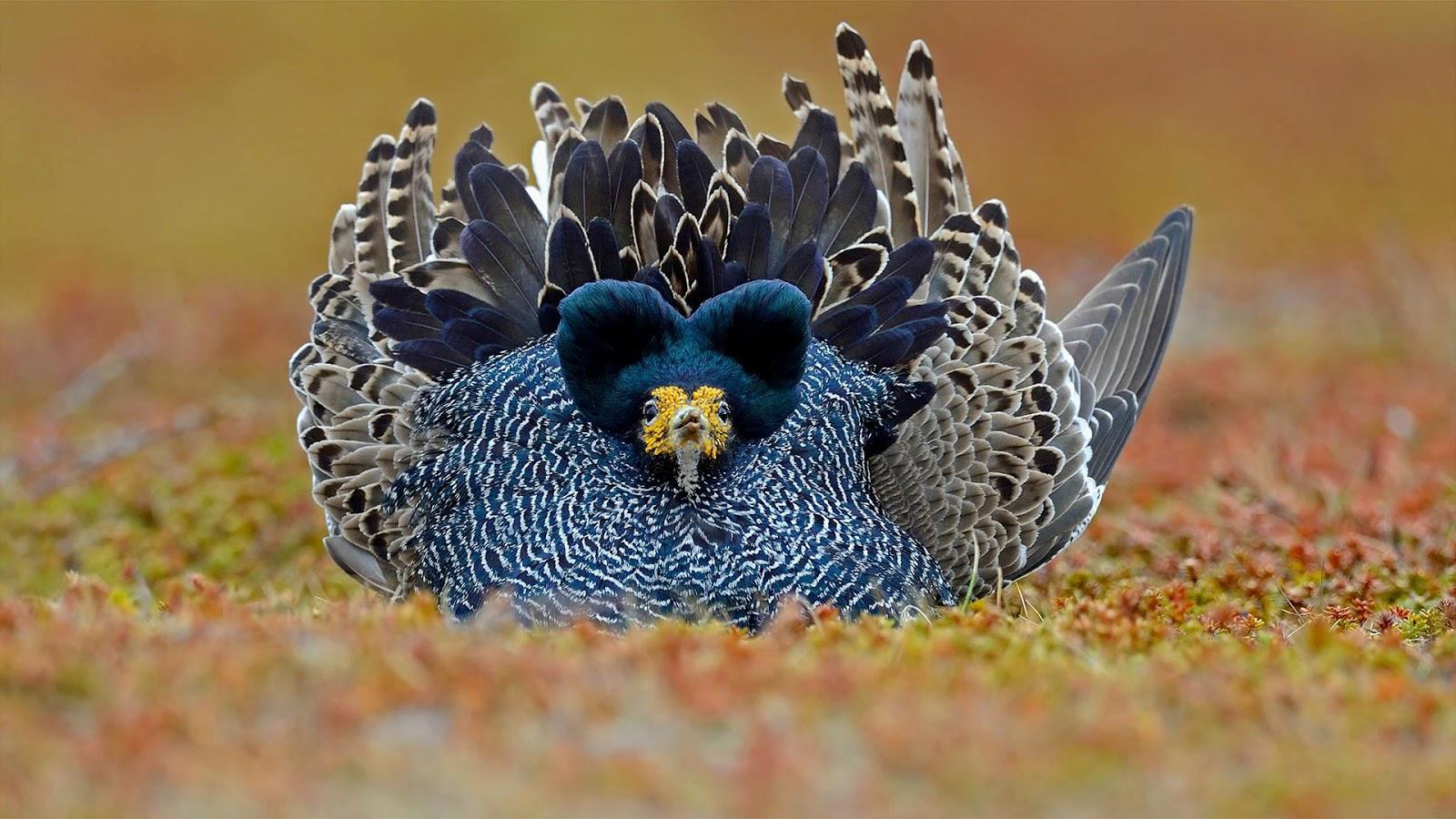 Ruff male displaying its plumage, Varanger Peninsula, Norway © Winfried Wisniewski/Minden Pictures