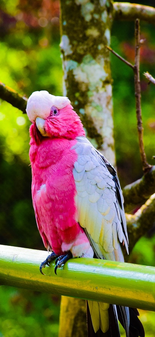 Picture of a beautiful galah.