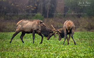 Elk Rut visit elk country Benezette Pennsylvania