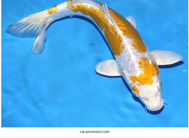 Jenis-Jenis Ikan Koi Doitsu Hariwake