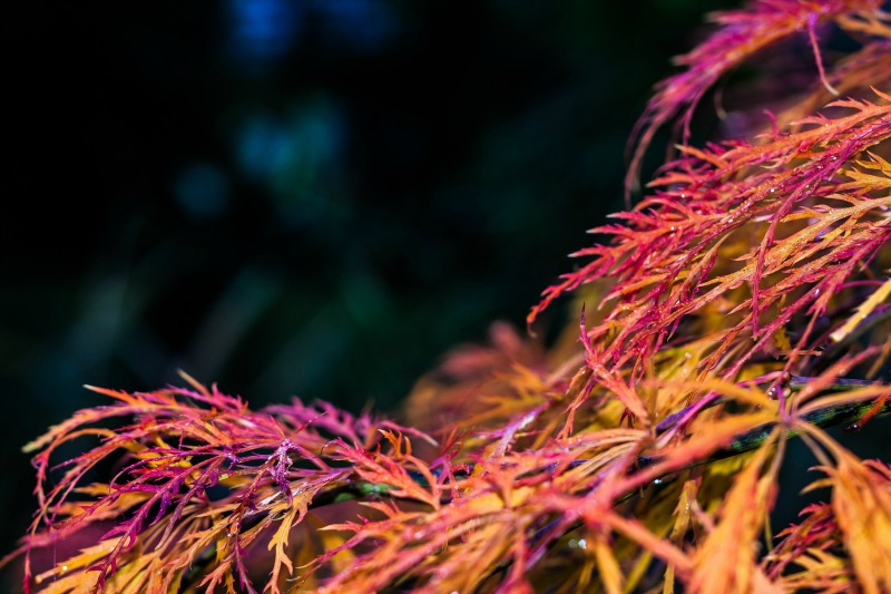 Arce palmatum rojo