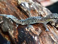 Spesies Baru: Cicak Jari Lengkung Tambora dari Sumbawa