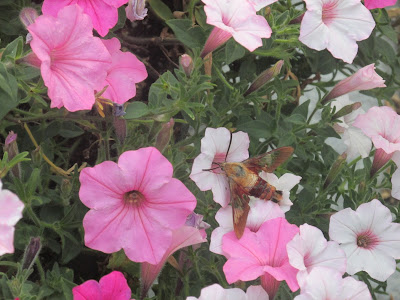 a Beautiful Humming Bird Moth- I've never seen one!