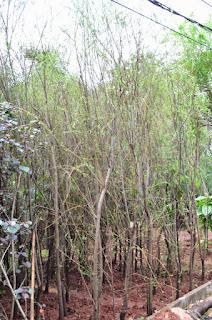 -Rumput Gajah Mini -Rumput Gajah Varigata -Rumput Gajah Biasa / Cikande -Rumput Golf -Rumput Jepang / Peking -Rumput Swiss -Rumput Embun dll.  Kamipun menjual pohon pelindung dengan berbagai macam ukuran dan diameter, seperti : - pohon trembesi - pohon biola cantik - pohon tabebuya - pohon ketapang kencana - pohon flamboyan - pohon dadap - pohon bungur - pohon kamboja pink, putih, kuning / bali, merah, kecap, fosil - pohon glodogan tiang - pohon bintaro - pohon kenanga - pohon angsana - pohon akasia - pohon kupu-kupu dll  Kamipun menjual bambu pagar hidup seperti : - bambu jepang - bambu kelisik - bambu panda - bambu kuning - bambu cina - bambu nagin - bambu tali dll  Kamipun menjual tanaman hias seperti : - bromelia - agave - airis - landep / kacang – kacangan - lili paris - lili brazil - pohon kana - sutra bombai - liang liu - song of india - brokoli kuning & hijau - lavender bunga & zodiac - rembosa mini - kucai mini & kucai gondrong - asoka - pohon pacing dll  Kamipun menjual pohon bonsai seperti : - bonsai beringin korea - bonsai sianto - bonsai serut - bonsai bougenville / bunga kertas - bonsai anting putri - bonsai melati jasmine dll  Kamipun menjual tanaman rambat seperti : - pohon sirih gading - pohon mandevilla - pohon li kuan yu - pohon alamanda - pohon flame of irian - pohon air mata pengantin dll  Kamipun menjual tanaman air seperti : - pohon bambu air - pohon lotus - pohon teratai - pohon papirus - eceng gondok - pohon melati air - ilalang air - selada air - ganggang air dll  Kamipun menjual Jenis palem seperti : - palem raja - palem putri - palem ekor tupai - palem kuning - palem merah - palem sinensis - palem koll - palem kenari - palem bismarkia - pohon kurma - palem sikas - palem sadeng minyak - palem komodoria dll  Kamipun menjual pohon cemara seperti : - cemara lilin - cemara pinus - cemara pua pua - cemara gunung - cemara morpok - cemara kipas - cemara tretes dll