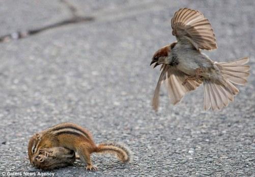 burung gereja berkelahi