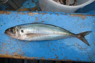 Jurel del Pacífico Trachurus murphyi