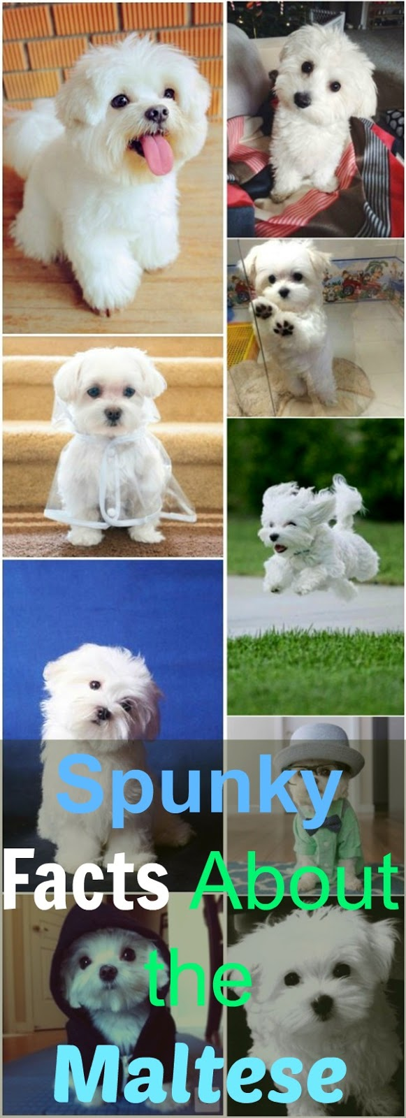 Spunky Facts About the Maltese