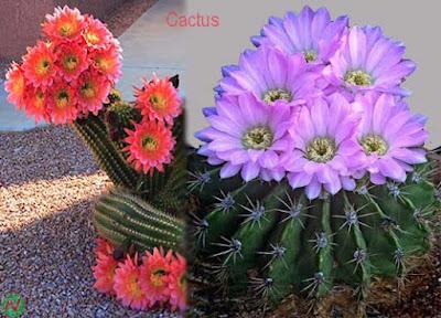 cactus, cactus flower
