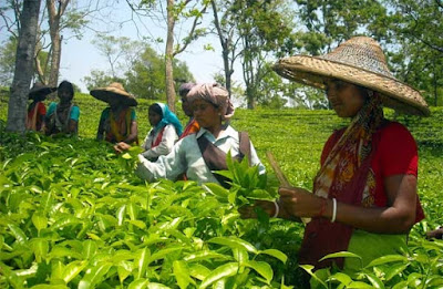 Tea worker in terai dooars