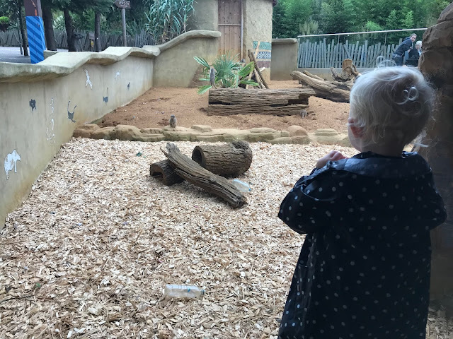 A toddler watching meerkats at the zoo