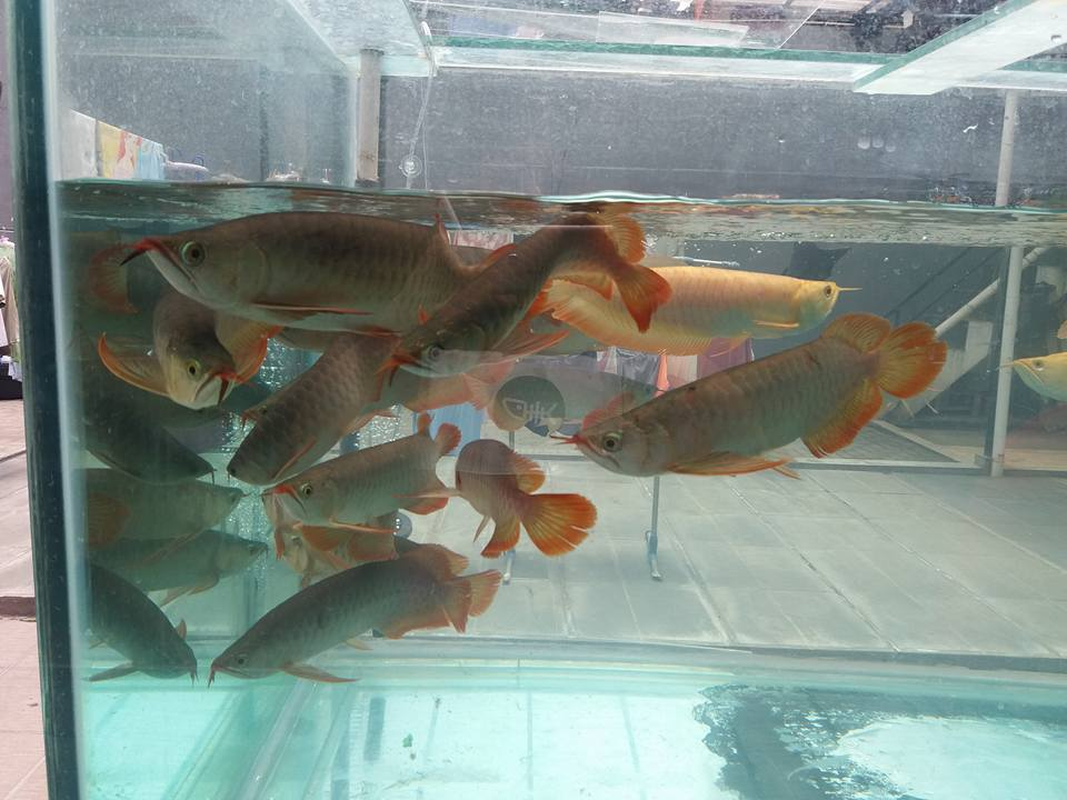 jemur arwana di akuarium