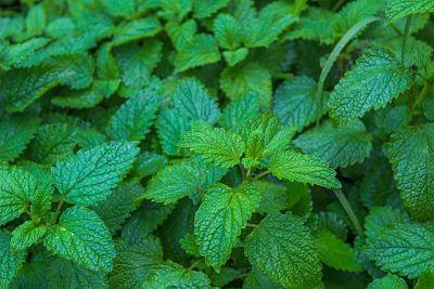 Hierbas aromáticas. Planta de toronjil.