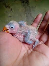Burung Lovebird - Permasalahan Burung Lovebird Anakan yang Mati dan Cara Penanganannya - Penangkaran Burung Lovebird
