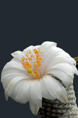 Hình nền điện thoại hoa xương rồng đẹp và tinh tế