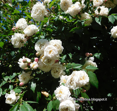 Rosa nel giardino della fattoria didattica dell ortica a Savigno Valsamoggia Bologna vicino a Zocca nell appennino