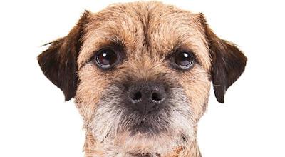 Descripción Border Terrier