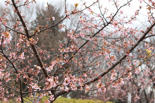 茅ヶ崎公園の河津桜