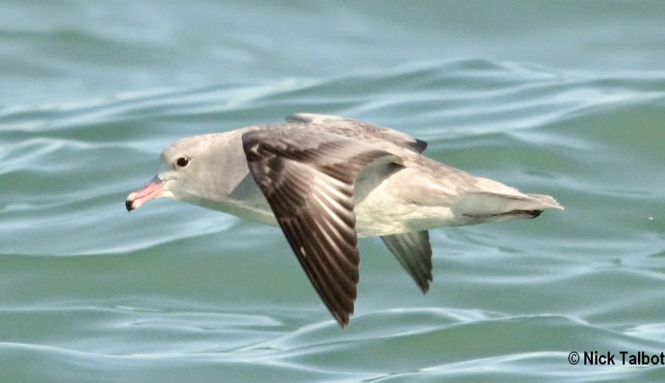 aves marinas argentinas Fulmarus glacialoides