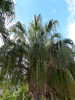 Livistona decora - Latanier pleureur