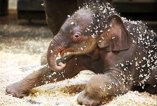 21 Cute Baby Elephant Pictures Amazing Creatures