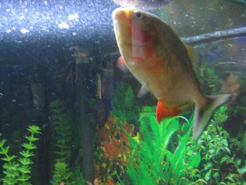 Gambar Ikan Hias Megap Megap Atau Ter-Engah Engah Di Permukaan Air
