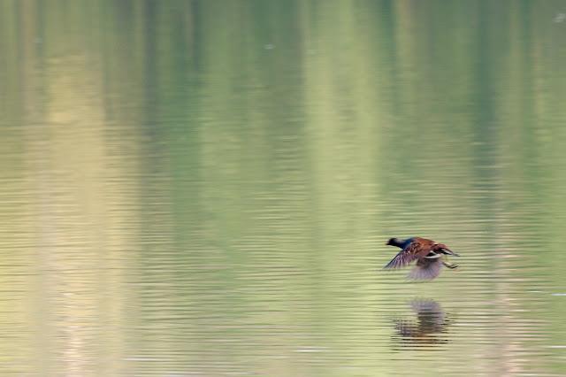 Ein Teichhuhn fliegt dicht über der Wasseroberfläche