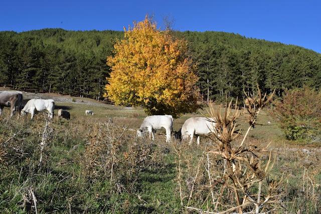 Vacche Marchigiane