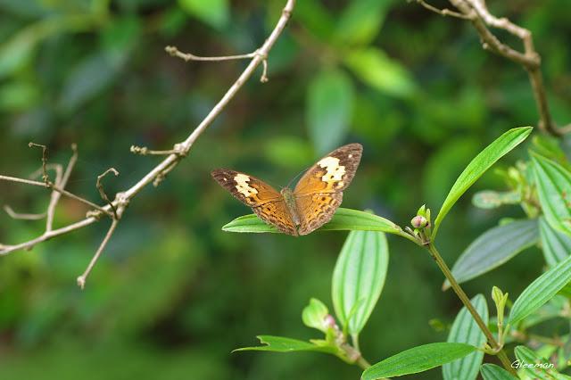雞南山散步,黃襟蛺蝶