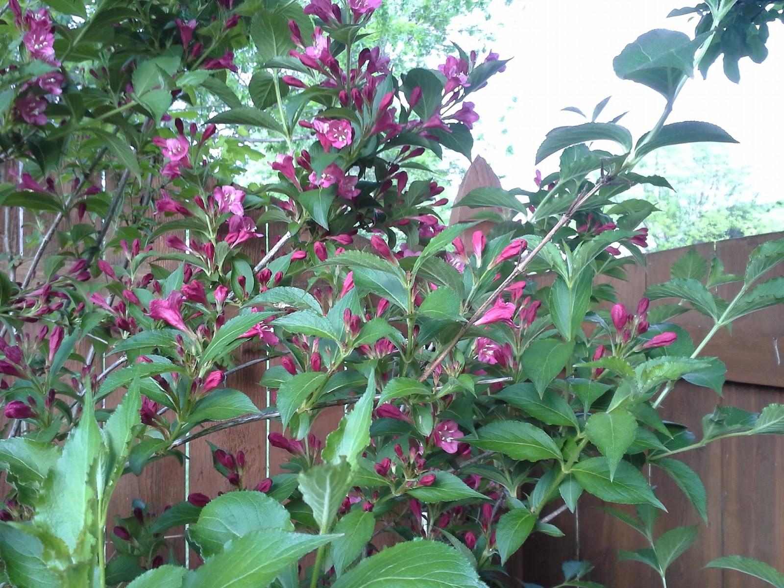 Linda Lu's Comments: Flowering Weigela Bush Deciduous Shrub