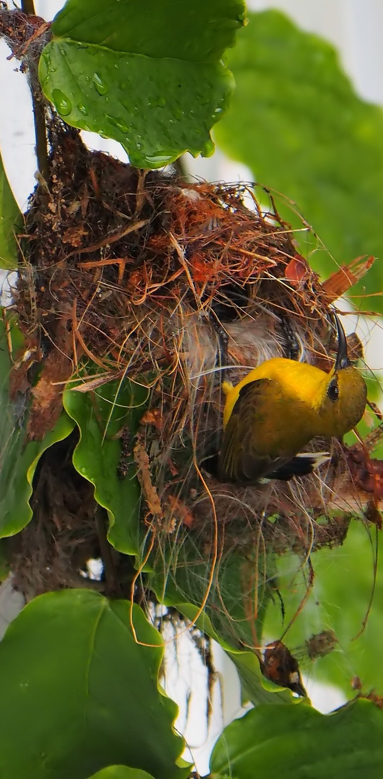 A female sunbird on it's nest.
