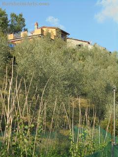 Sorana beans co-habit terraced land with olive trees Valleriana Italy